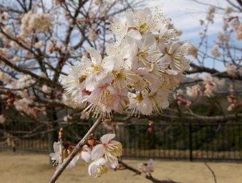 Sakura0803chugokumi2