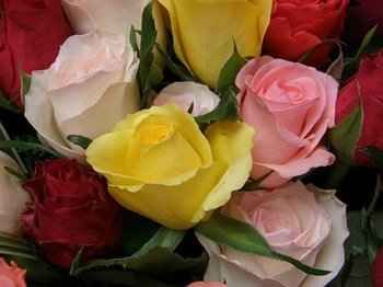 Rose0811b