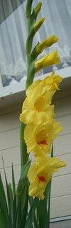 gladiolus050702s