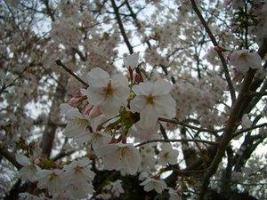 Sakura060327a