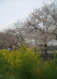 Sakura060327n_1
