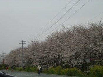 Sakura070401n