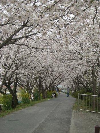 Sakura070401tn